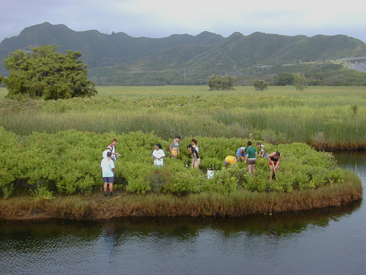 volunteers clearing a small islet at Kawainui